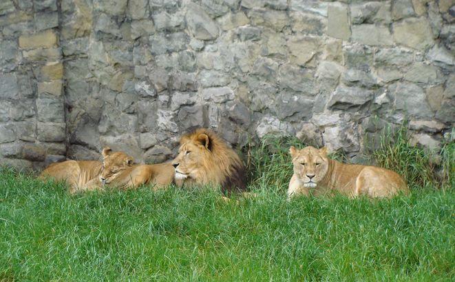 W chorzowskim zoo można zobaczyć m.in. lwy