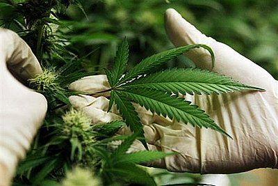 Mógł sprzedać nawet 2,5 tys. działek marihuany. Teraz w areszcie oczekuje na proces, Archiwum