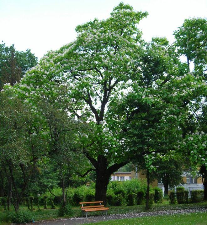 """Surmia Gracja z naszego miasta może zostać """"Drzewem Roku"""", materiały prasowe"""